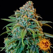 Liberty Haze Feminized